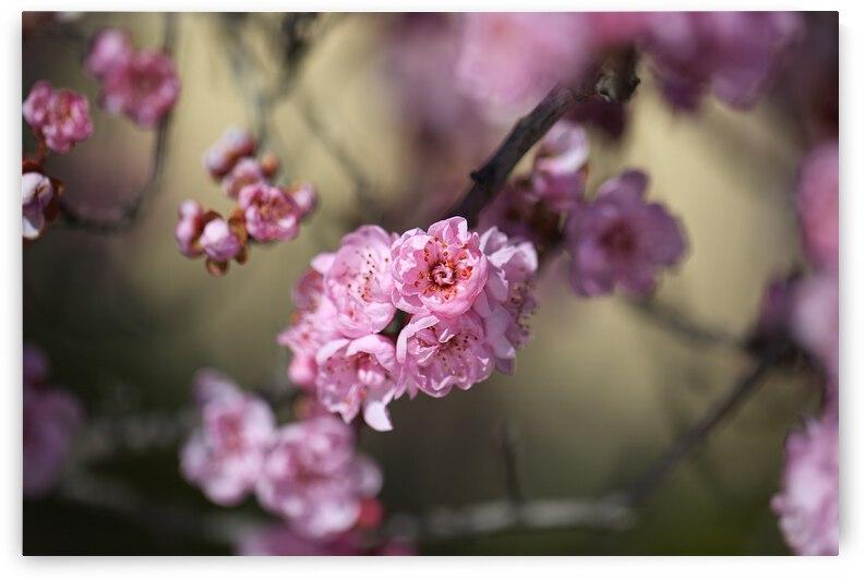 Prunus Blossom Dreams In Pink by Joy Watson