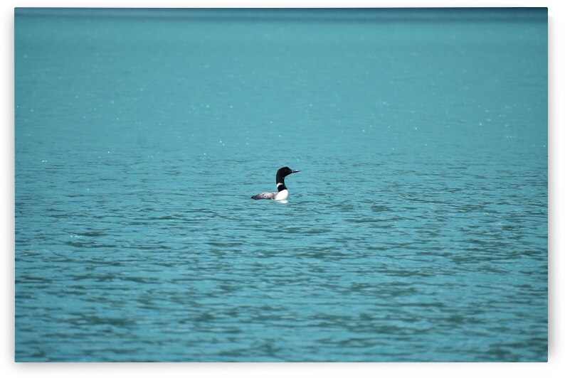 Loon on the Water by Kyle Moak