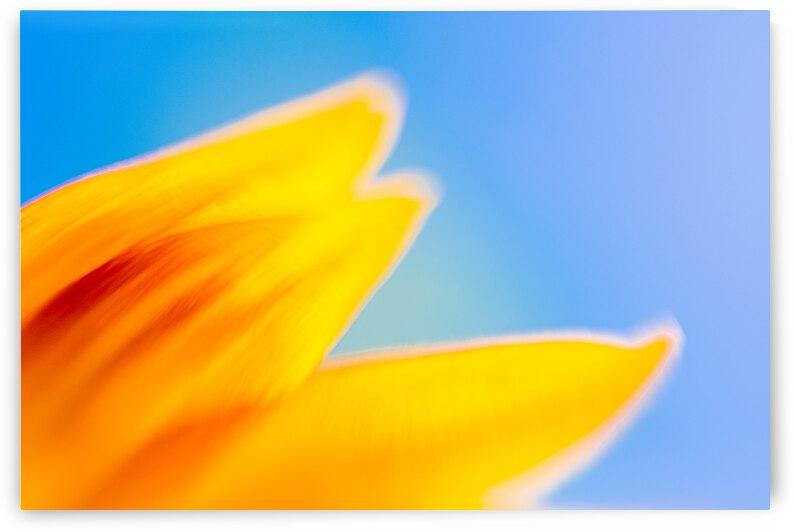 Sunflower petals by NavPa