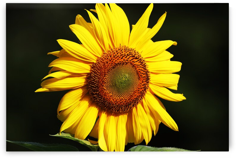 Sunflower by Deb Oppermann