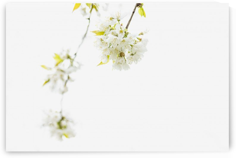 White spring by Marko Radovanovic