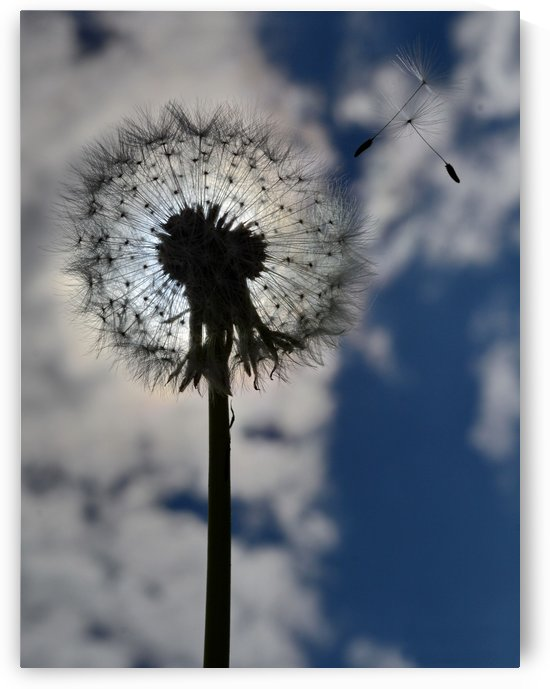 Dandelion by Bajan Sorin