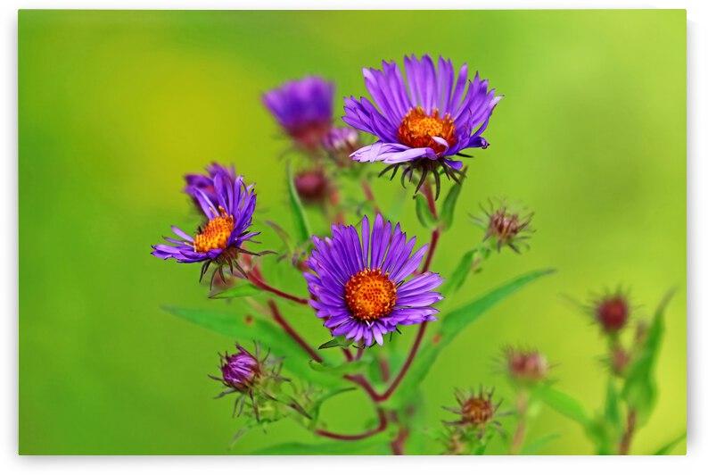 Wild Asters In Purple by Deb Oppermann
