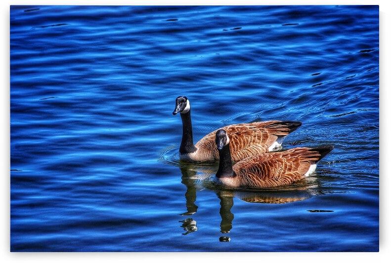 Canada Geese  by David Cochran