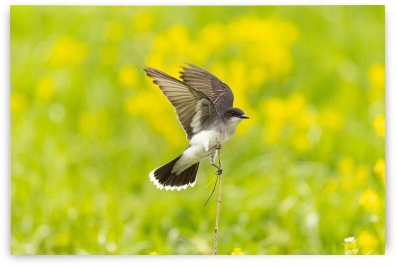 Eastern Kingbird  by Dylan Brew Photography