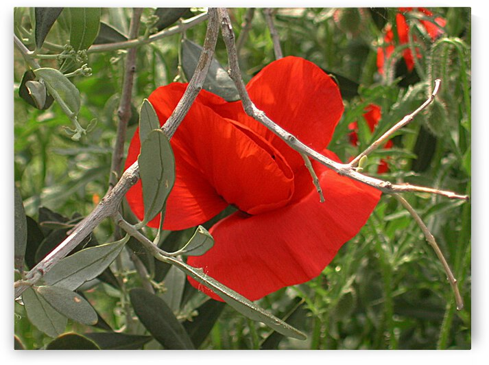 Poppy Growing Through Olive Tree Branch by Dorothy Berry-Lound