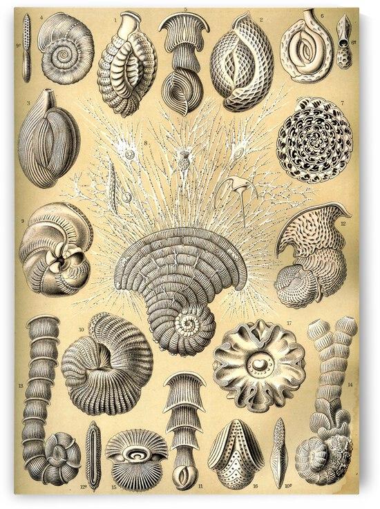 13 haeckel thalamophora 12 by TOPARTGALLERY