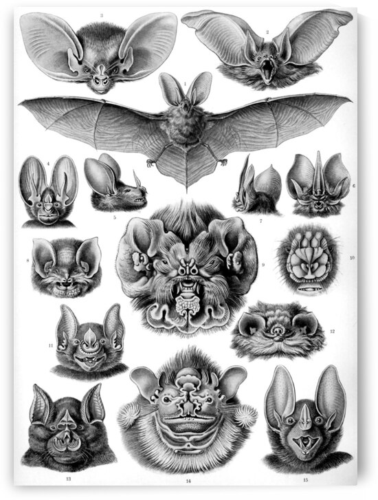 68 haeckel chiroptera by TOPARTGALLERY