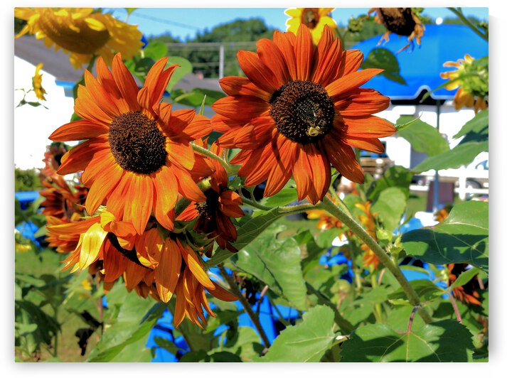 Red Sunflower by Bob McCulloch