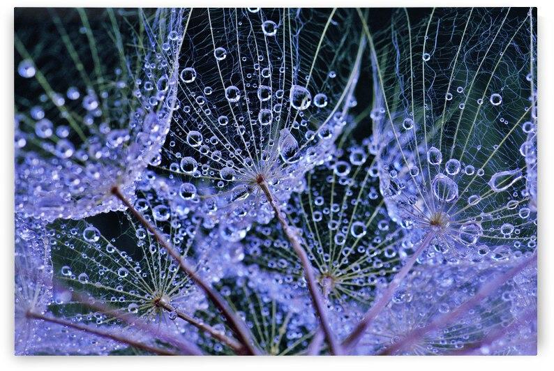 Rainy Day Salsify by Brenda Lawlor