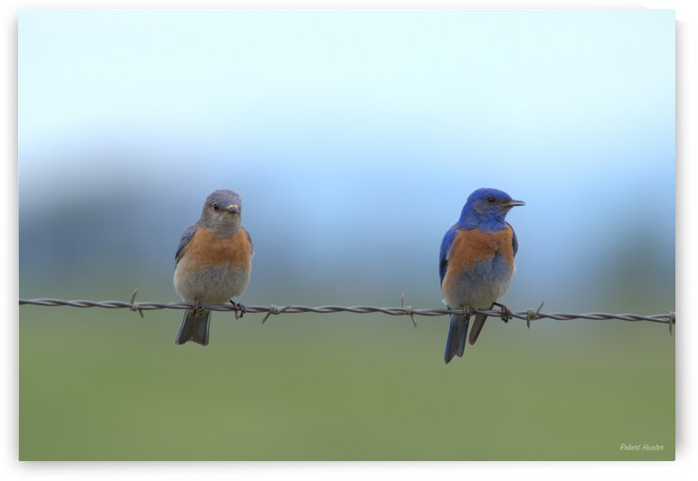 His and hers bluebirds by R Hunter