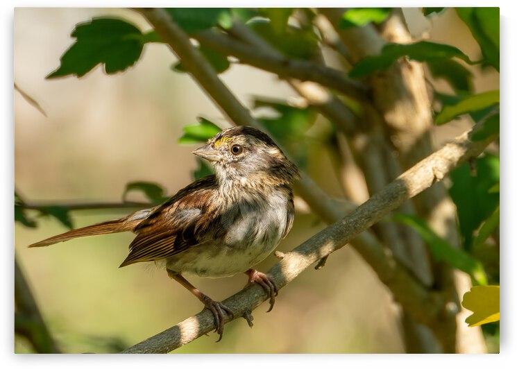 Sparrow by Bob Orsillo