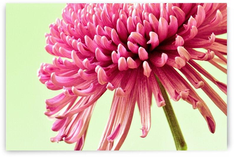 Blushing Chrysanthemum by Brenda Lawlor