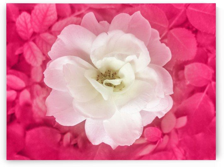 White Rose Top View by Daniel Ferreia Leites Ciccarino