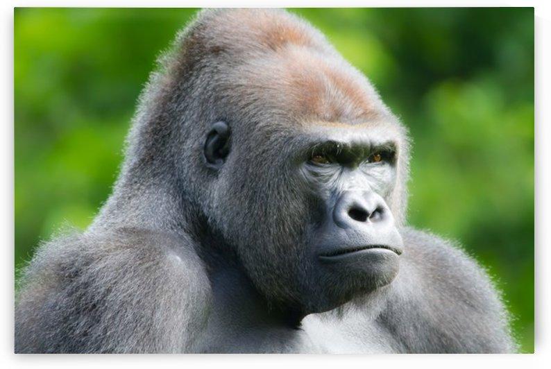 Gorilla by Steve Randel