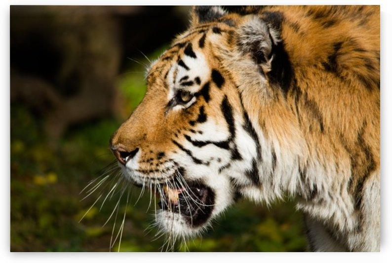 Tiger by Steve Randel