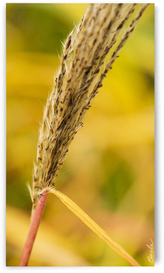 Flamboyantes Graminees no. 6 - Flamboyant Grasses no. 6 by Pierre Cavale