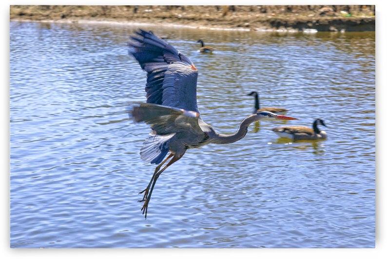 Blue Heron Crane Flying by Ronald Gilbert Baker