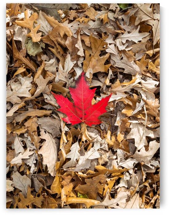Maple Leaf by Jackson Brown