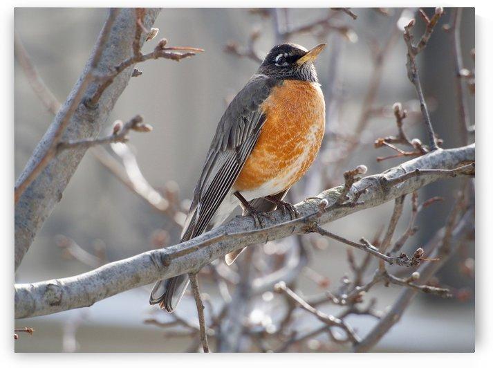 Spring Robin by Richard Lindzon