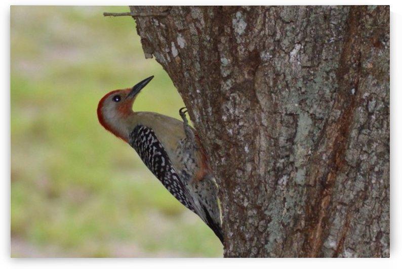 Red-Headed Woodpecker by Digitalu Photography