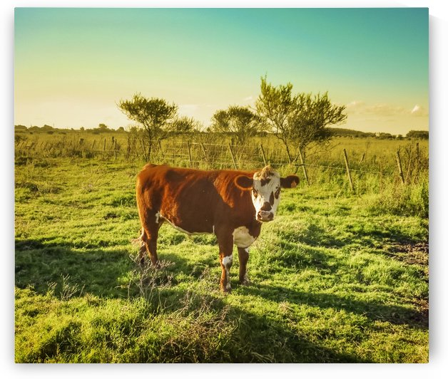 Cow in the Field Watching the Camera by Daniel Ferreia Leites Ciccarino