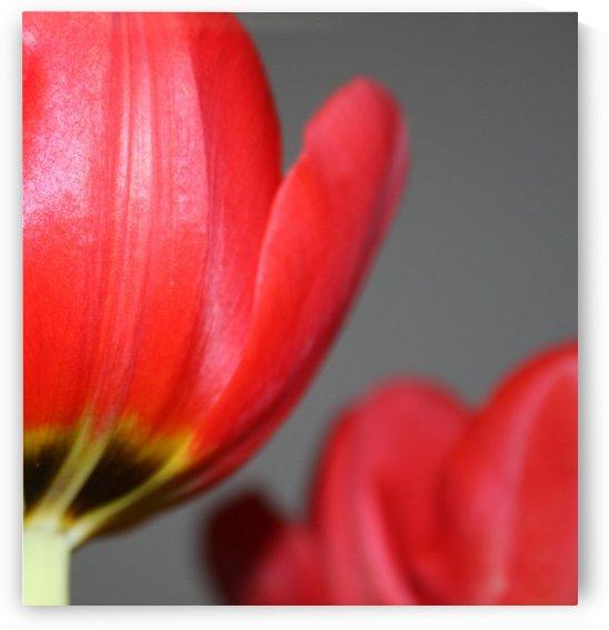 Tulips by Digitalu Photography