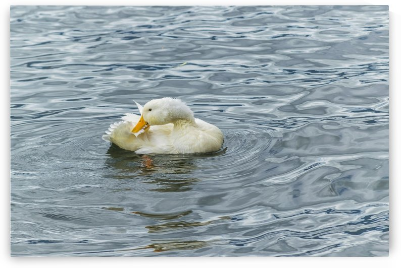 White Duck Preening at Lake Print by Daniel Ferreia Leites Ciccarino
