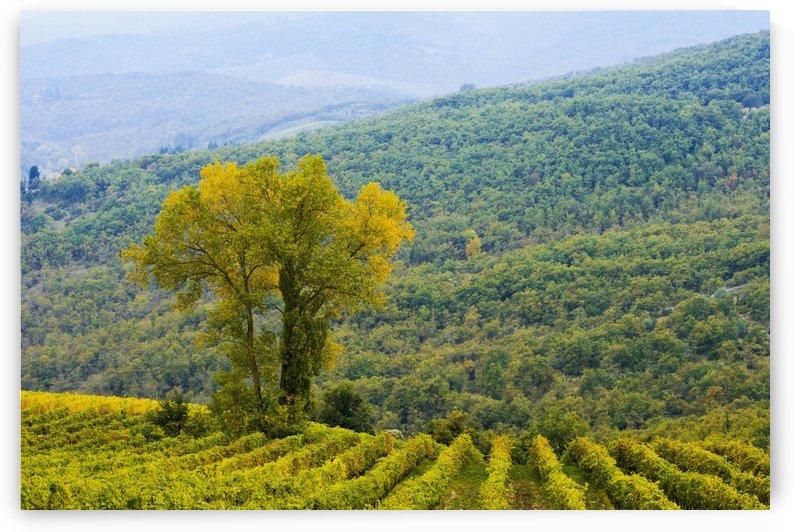 Wine grape vineyard; Chianti, Tuscany, Italy by PacificStock
