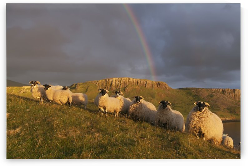 Sheep on a grassy slope with a rainbow in the cloudy sky, near Kilmaluag; Isle of Skye, Hebrides, Scotland by PacificStock