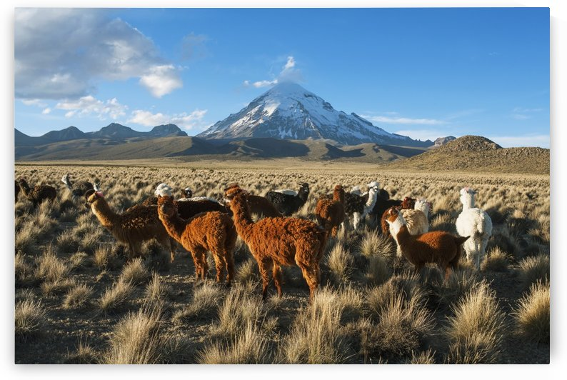 Lamas in front of Nevado Sajama, Sajama National Park; Bolivia by PacificStock