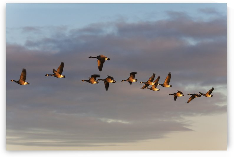 Canada geese in flight; Manitoba, Canada by PacificStock