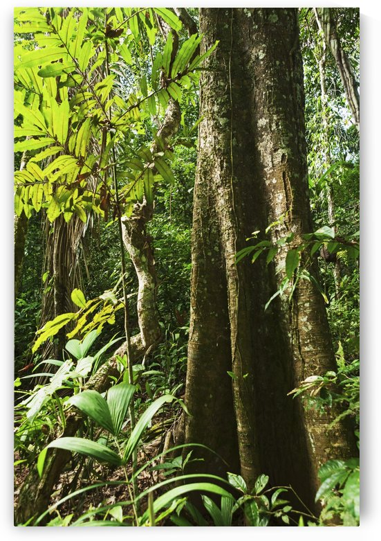 Rain forest along the Rio Tuichi, Madidi National Park; Departamento La Paz, Bolivia by PacificStock