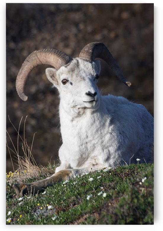 Dall Sheep Ram (Ovis dalli dalli) lying on a hillside in Denali National Park, Interior Alaska by PacificStock