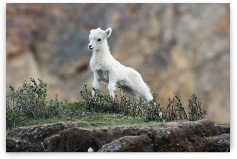 Dall Sheep lamb (Ovis dalli dalli) in Denali National Park, Interior Alaska by PacificStock