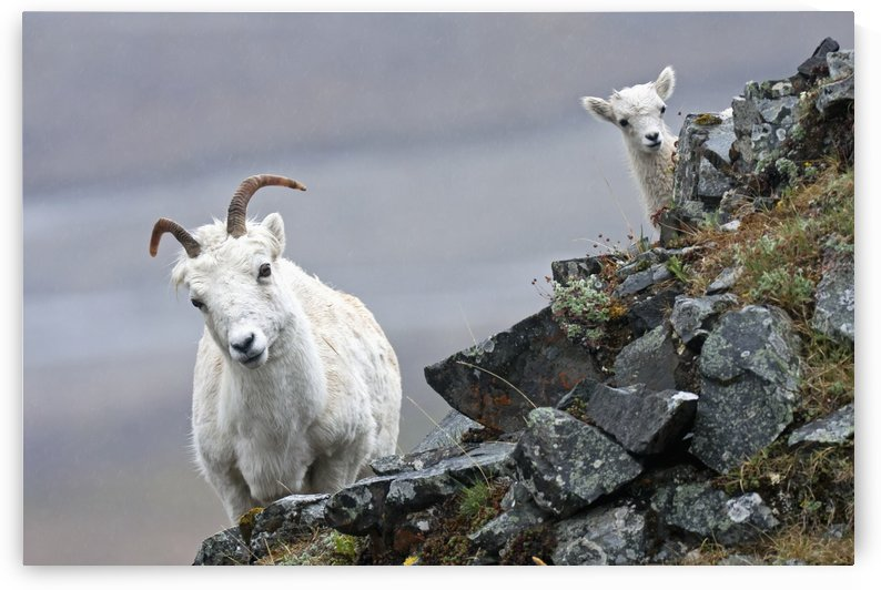 Dall Sheep ewe and her lamb (Ovis dalli dalli) in Denali National Park, Interior Alaska by PacificStock
