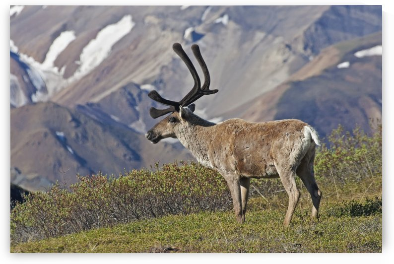 Caribou (Rangifer tarandus) near the Park road, Denali National Park, Interior Alaska by PacificStock