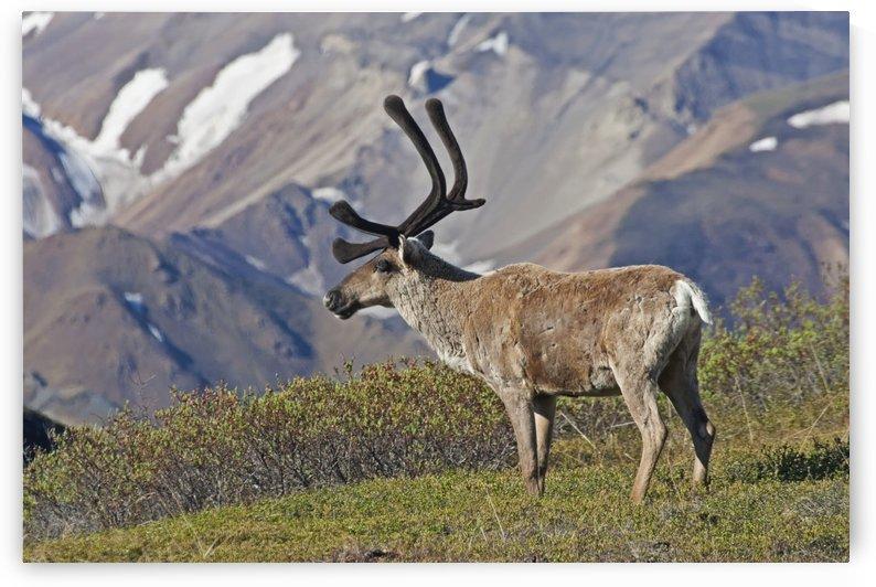 Caribou (Rangifer tarandus) near the Park road, Denali National Park, Interior Alaska by PacificStock