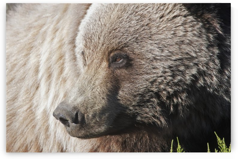 Close up of a Grizzly (Ursus arctos) near the Park road, Denali National Park, early summer, Interior Alaska by PacificStock