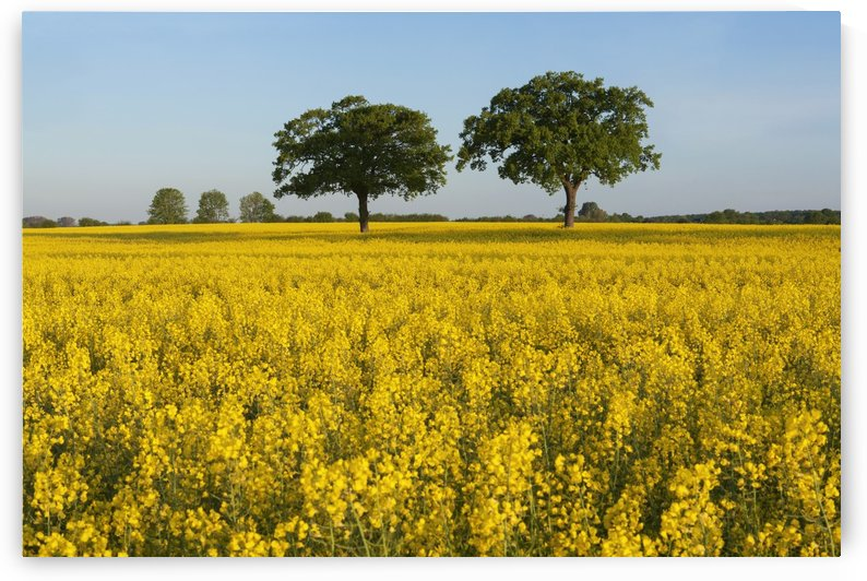 Oak trees in canola field near Ploen; Schleswig-Holstein, Germany by PacificStock