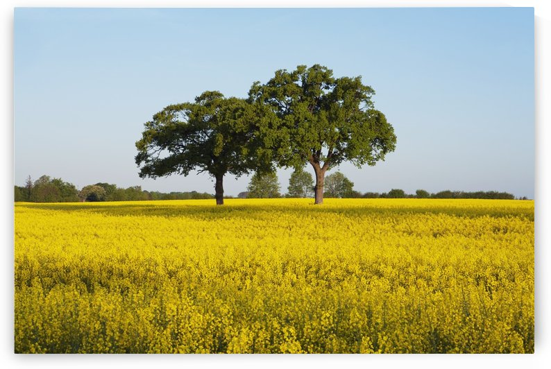 Oak trees in canola field near Ploen; Schleswig-Holstein, Germany by PacificStock