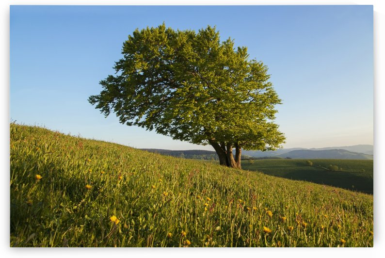 A tree grows on a hillside with blue sky, near Schauinsland; Black Forest, Germany by PacificStock