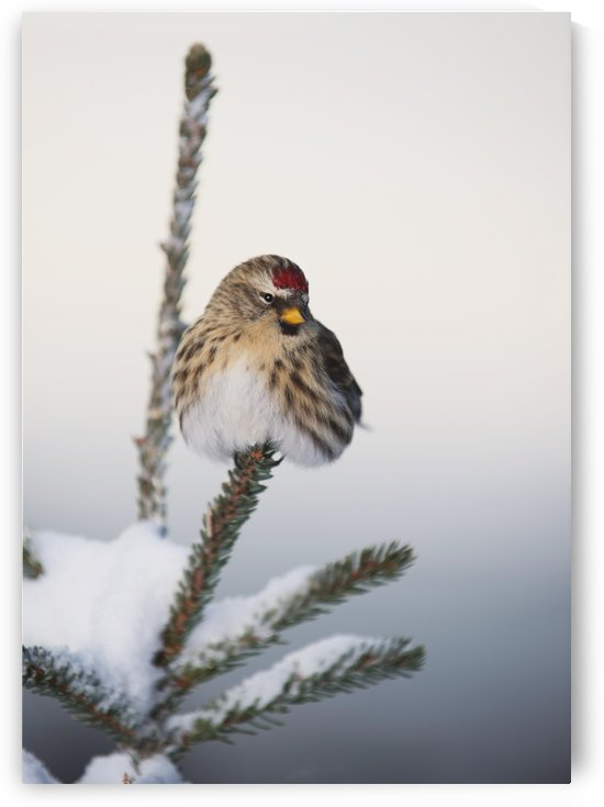 A Common Redpoll (Carduelis flammea) perches atop a snowy spruce tree on a frigid day in Interior Alaska. Fairbanks, Alaska by PacificStock