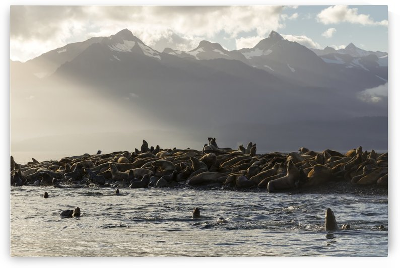 Sea lions basks in the last of the days light on a small island in Lynn Canal, Inside Passage, Alaska, near Juneau. The steep peaks of the Chilkat Mountains rise from the sea beyond. by PacificStock