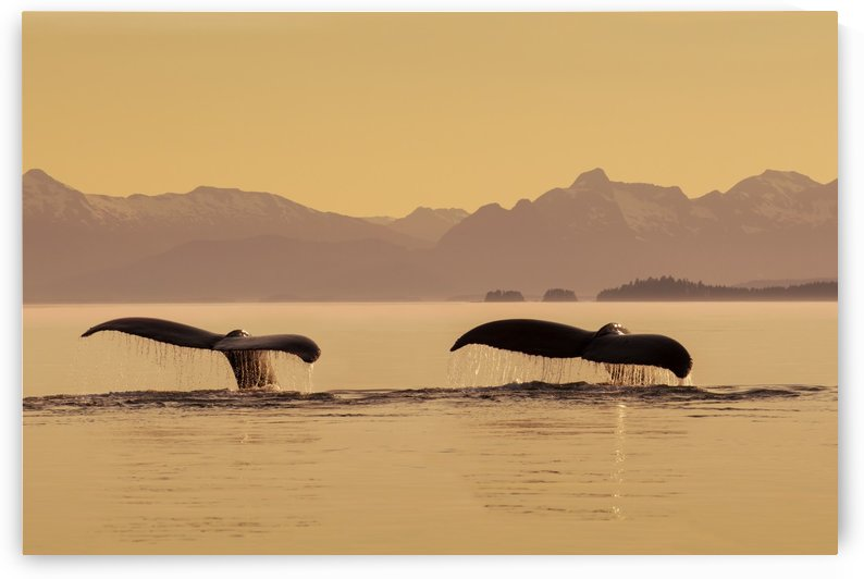 A couple of Humpback whales lift their flukes as they submerge beneath the calm surface of the Inside Passage, Frederick Sound at sunset on a summer evening, Admiralty Island in the distance. by PacificStock