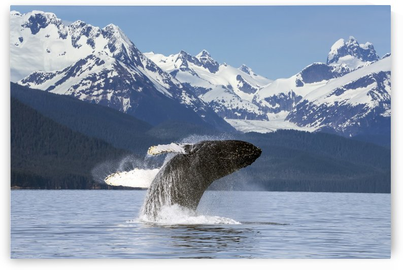 A humpback whale leaps (breaches) from the calm waters of Lynn Canal in Alaska's Inside Passage, near Juneau. Herbert Glacier and snowcapped mountains of Coastal Range beyond, Tongass National Forest. by PacificStock