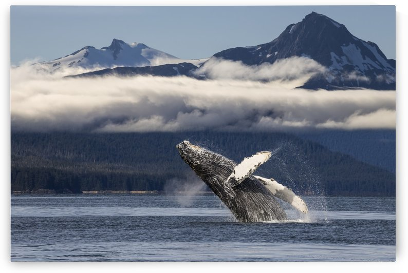 A humpback whale breaches as it leaps from the calm waters of Lynn Canal in Alaska's Inside Passage. The forested shoreline and Chilkat Mountains beyond, Tongass National Forest. by PacificStock