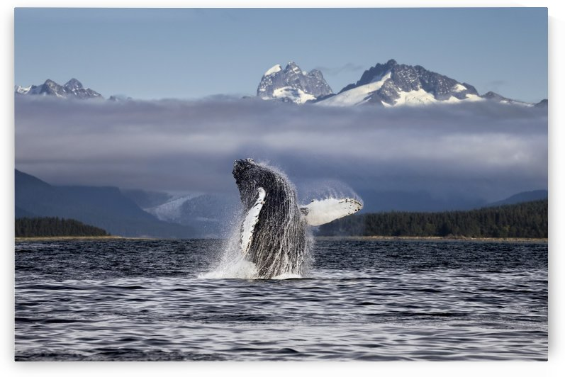 Composite. A humpback whale breaches, leaping from Lynn Canal in Alaska's Inside Passage, near Juneau. Herbert Glacier and snowcapped mountains of Coastal Range beyond, Tongass National Forest. by PacificStock