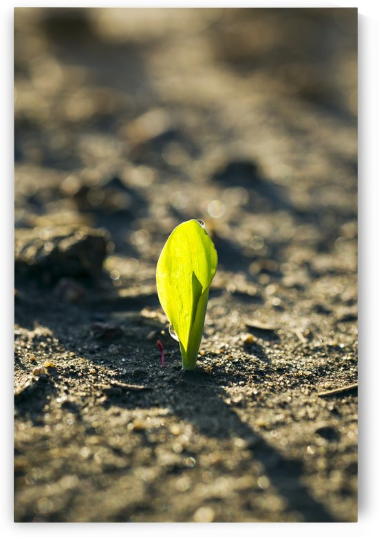 A young corn seedling emerges from the wet ground; Iowa, United States of America by PacificStock