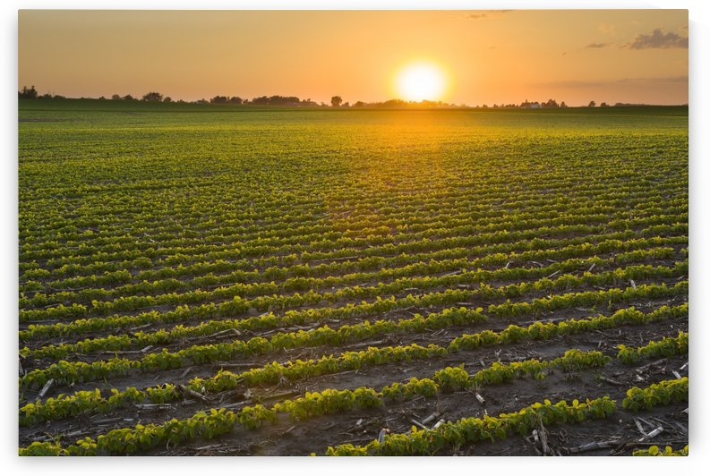 A field of young soybean plants at sunset in central Iowa; Iowa, United States of America by PacificStock